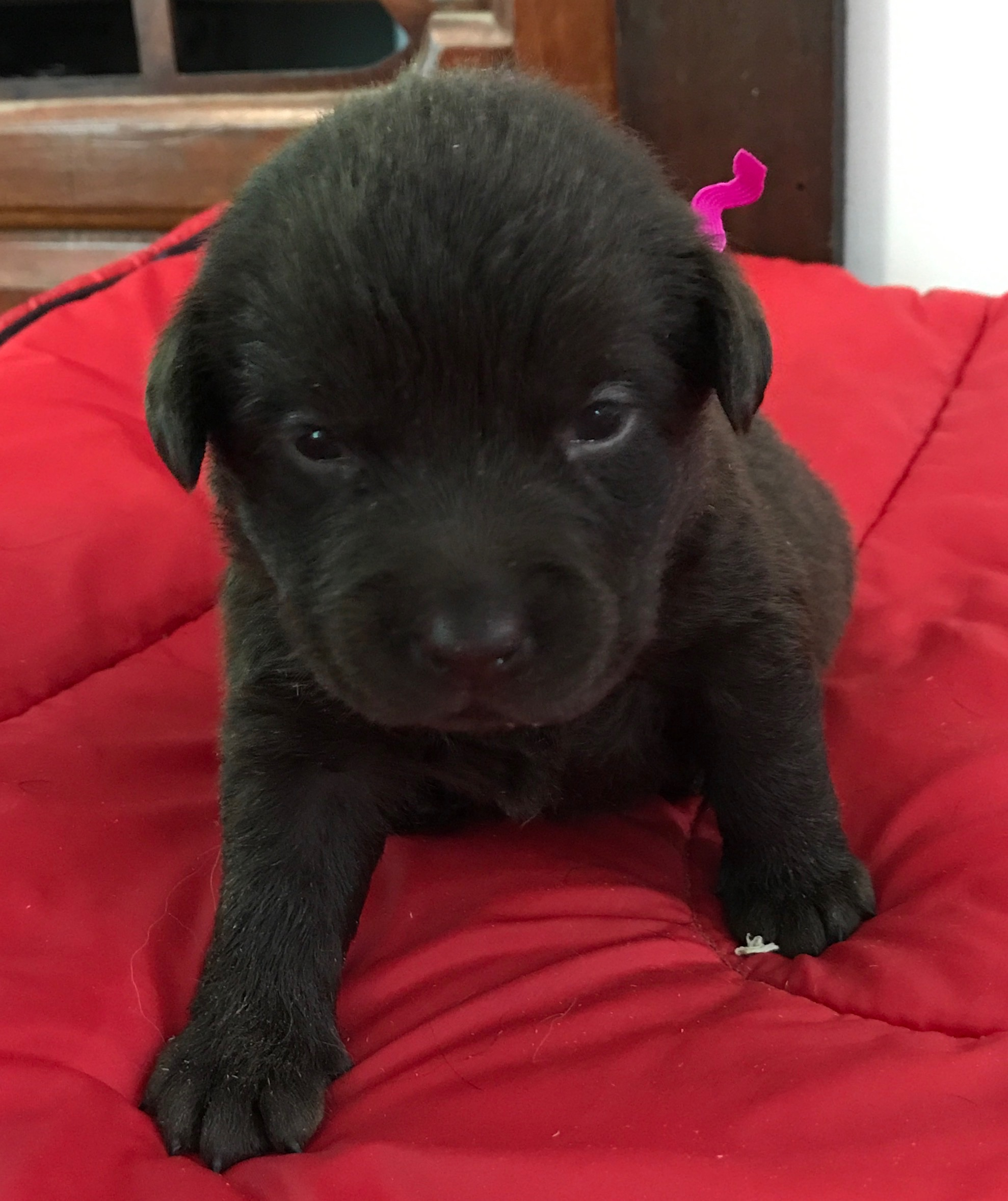 Litters Pups For Sale Home Grown Trilogy Breeder Sitehome Grown